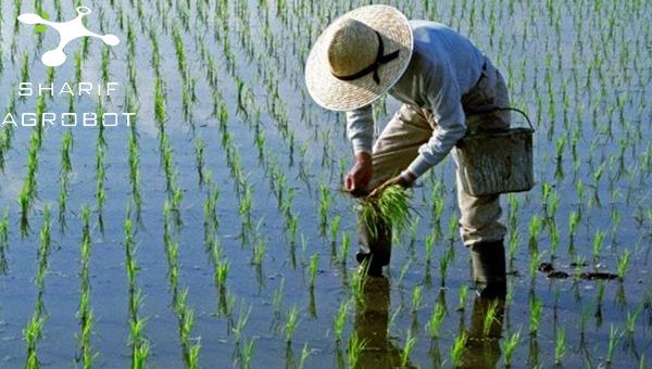 سمپاشی مزارع برنج با پهپاد