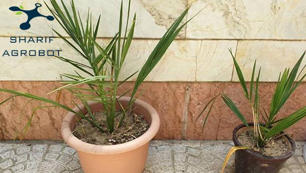 کاشت درخت نخل از هسته خرما