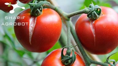 عوارض فیزیولوژیکی گوجهفرنگی